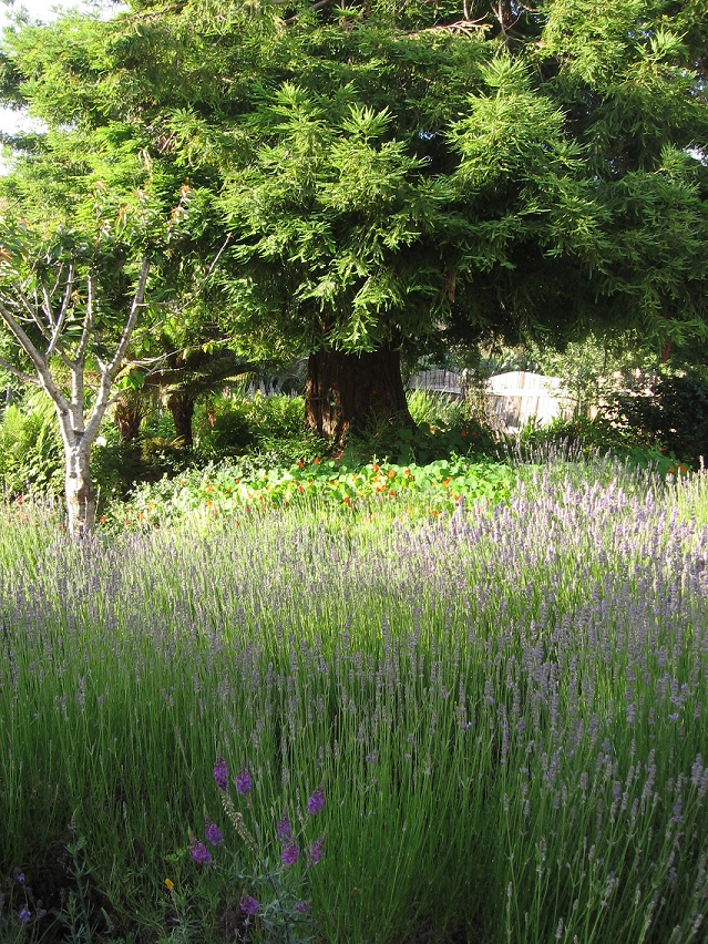 lavender fields in pescadero garden